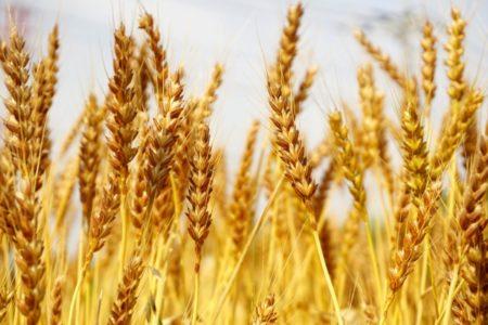 小麦粉 グルテン